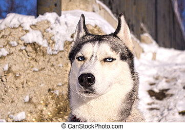 Portrait of a Siberian Husky - Portrait of a dog breed...