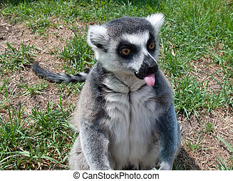 Lemur sticking its tongue out - Ring tailed lemur facing the...