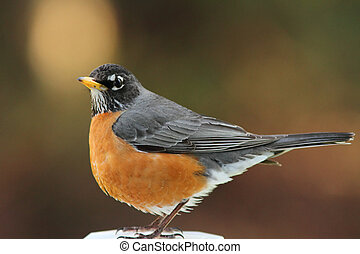 Robin - A beautiful American Robin resting perched on a...