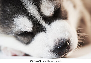 sleeping Siberian husky puppy dogs - Close-up muzzle of...
