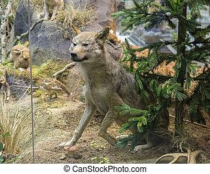 Wild Wolf in a forrest.