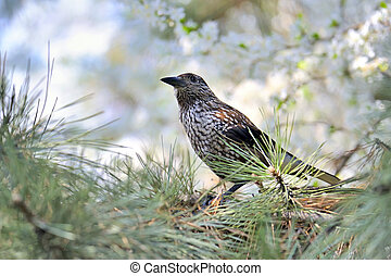 Fieldfare Turdus pilaris on spring tree brunch
