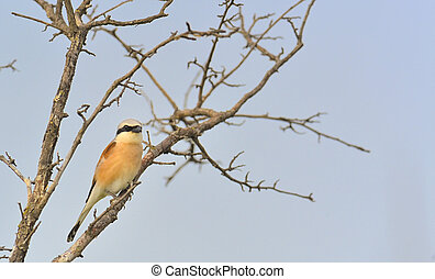 Red-backed Shrike Lanius collurio on brunch tree