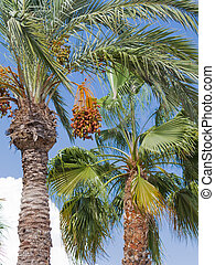 palm tree with dates - High palm tree with delicious ripe...
