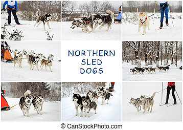 Northern sled dogs - riding the sled from Northern sled...