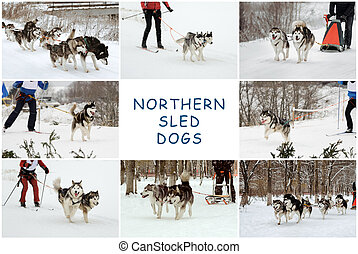 Northern sled dogs - the dog sledding, Siberian huskies and...