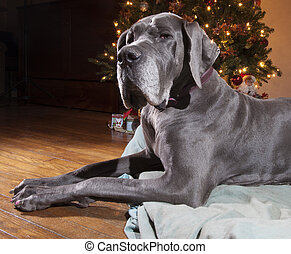 Obedient dog - Blue Great Dane that is next to a Christmas...