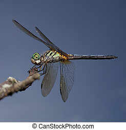 Gree eyed dragonfly - Dragonfly with a green body and eyes...