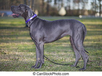 Great Dane - Gray Great Dane Purebred that is standing on a...