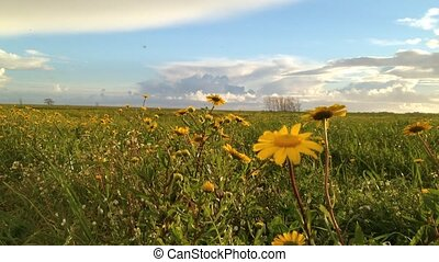 Landscape of field of yellow daisy