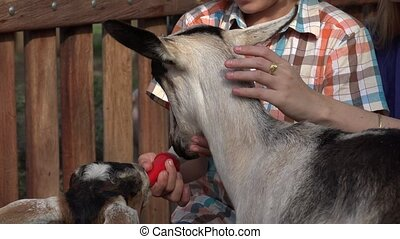 Boy Feeding Goats At Farm