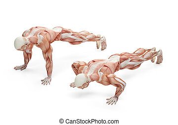 Push up exercise position. Anatomical illustration. Isolated with clipping path