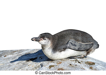 The Humboldt Penguin Spheniscus humboldti on white...
