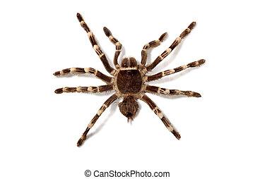 Brachypelma Smithi Mexican Redknee bird spider tarantula...