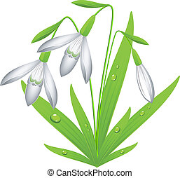 Snowdrop - Vector image of snowdrop. Over white. EPS 8, AI,...