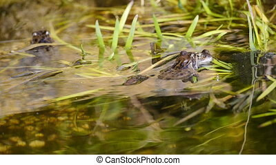 Frogs mating in a pond