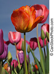 Orange Single Tulip with Blue Sky Background
