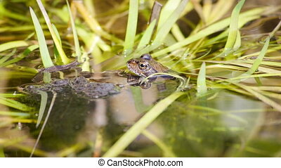 Frogs mating in a pond filled with plants