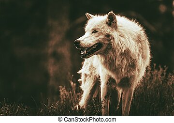 Alpha Wolf - White Alpha Wolf. Dark Sepia Color Grading....