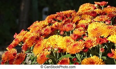 Orange Autumn Chrysanthemums Bush.