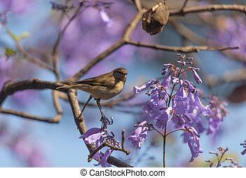Un, pájaro, en, el, ramas, de, Jacaranda,
