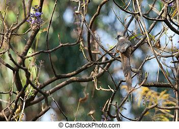 Jacaranda, árbol, en, etiopía,