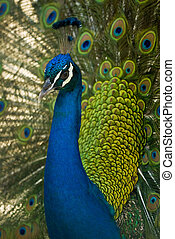 Peacock - A colorful peacock displays its attributes