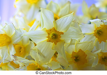 Narcissus - Closeup of a bunch of yellow narcissus