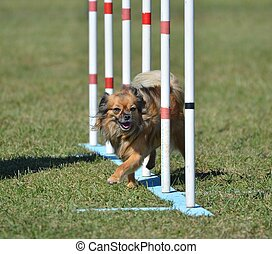 Long Coat Chihuahua at Dog Agility Trial - Long Coat...