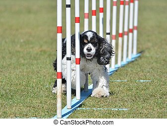 American Cocker Spaniel at Dog Agility Trial