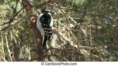 Woodpecker resting on a branch in winter