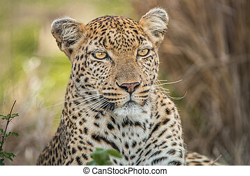 Starring Leopard - Leopard starring in the Kruger National...