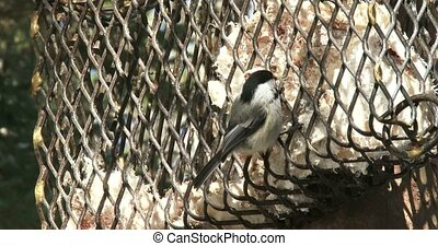 Chickadee eating from a feeder