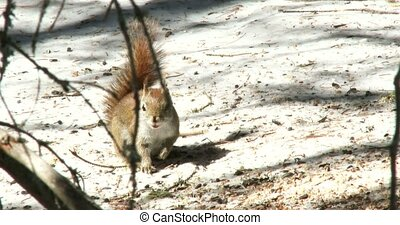 Red squirrel eating nuts in winter in Algonquin Provincial...