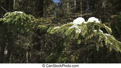 Branch of a pine tree covered in snow on a trail in...