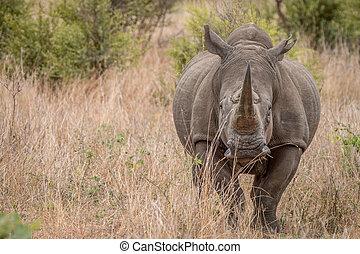 Starring White rhino - White rhino starring