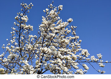 Blossoming magnolia tree