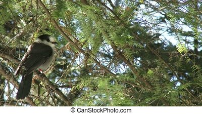 Gray jay resting on a pine tree