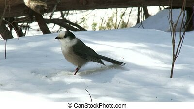 Gray jay eating seeds on the snow - Gray jay eating...