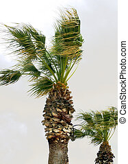 Palm trees in the wind - Two palm trees by windy and cloudy...