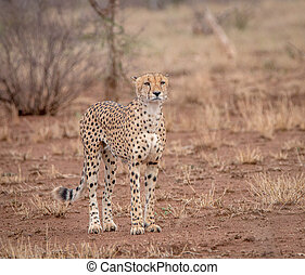 Starring Cheetah - Cheetah starring in the Kruger National...