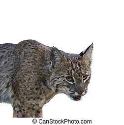 Bobcat .Digital Painting - Digital Painting of Wild Bobcat