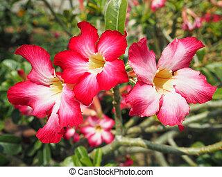 rosa, fiore, Adenium, obesum, ,