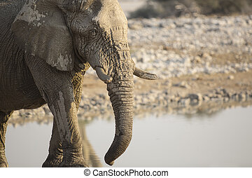 Elephant in Namibia