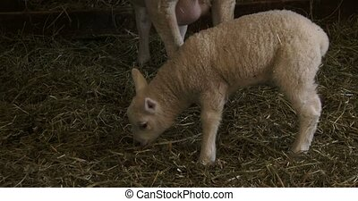 Small lamb living in barn, staying beside his mother