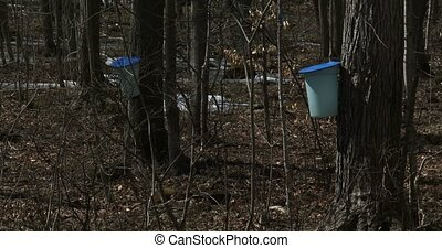 Sugar bush during harvest - Sugar bush during maple syrup...