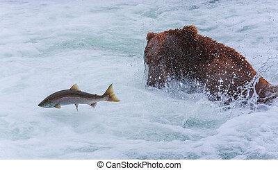 Oso pardo, osos, de, Alaska,
