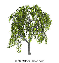 Green Willow on White - Green willow or sallow or osier...