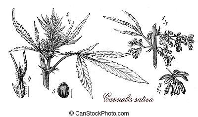 Cannabis sativa,botanical vintage engraving