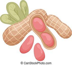peanut - vector illustration of isolated peanut kernels and...